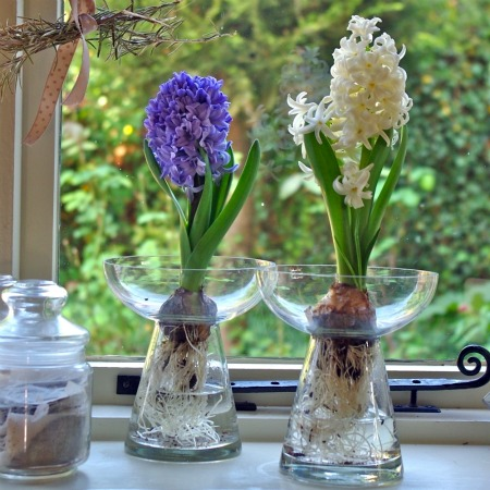 blue and white hyacinths in bulb vases