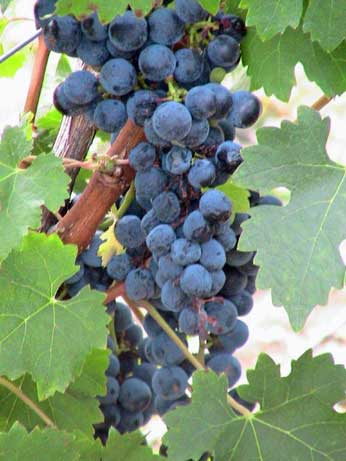 Merlot grapes on vine