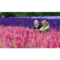 Fields of flower petals - a natural confetti crop